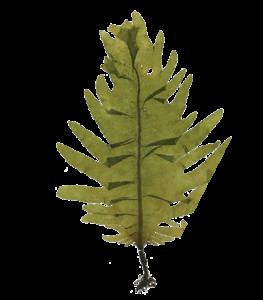 Laminaria-Leaf