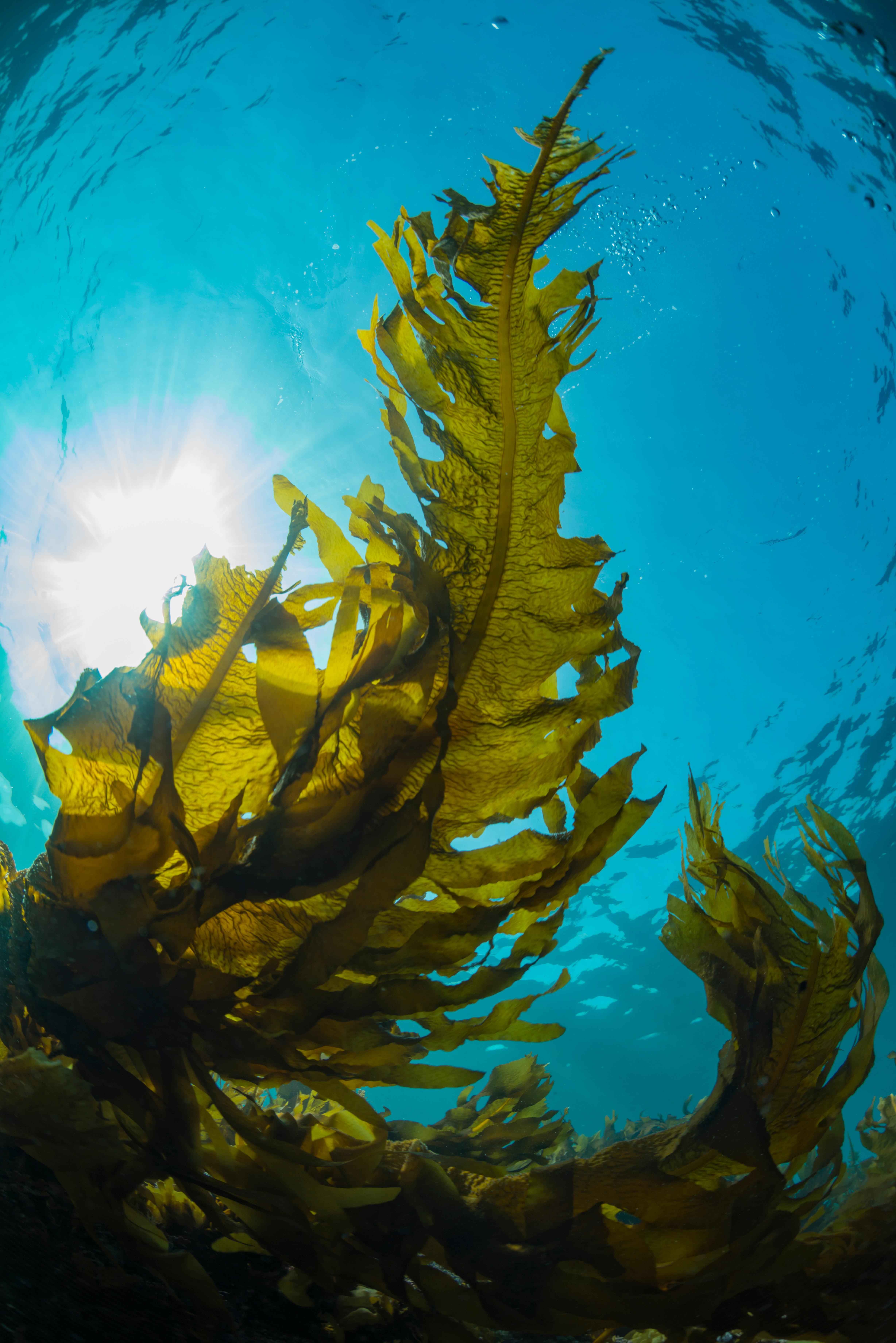 crystalblue_seaweed